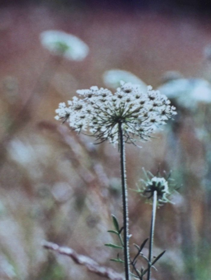 Queen Anne's Lace Floral Photograph
