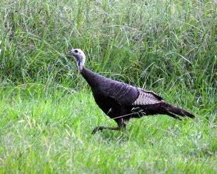 turkeywalkingtotherighttoleft